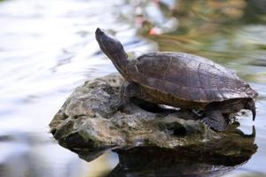 Slik Care for en Freshwater Turtle