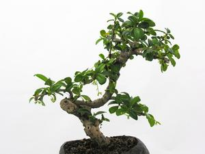 Bruker for en Ginseng Ficus Bonsai