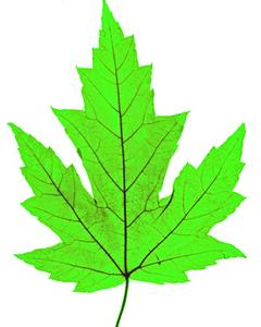 Maple Leaf Guide Identification