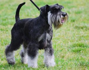 Tips om hvordan å potty trene en mini schnauzer