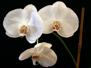 Bryllup Blomster: White Orchid