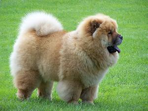 Chow Chow hudproblemer
