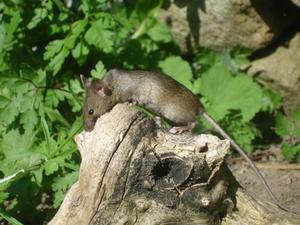 Natural Mouse Repellent tips
