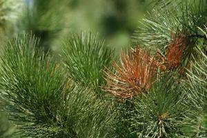 Tips for Pine Needles som er å snu Brown