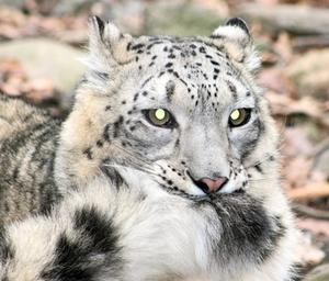 Tundra Food Web for Snow Leopards