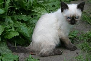 Snowshoe Cat Breed Information